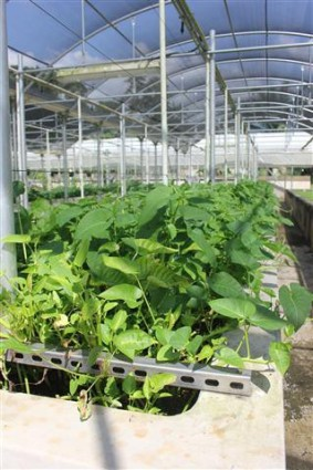 Aquaponics spinach